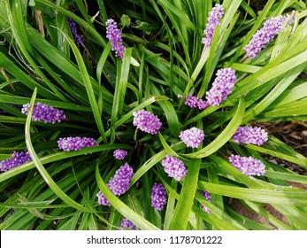 Liriope muscari flowers.