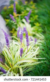 Liriope muscari flowers in a city garden in summertime