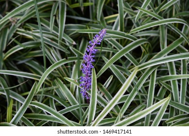 Liriope muscari flowers / Liriope muscari is a light purple flower that blooms in the shade of the garden from summer to autumn.