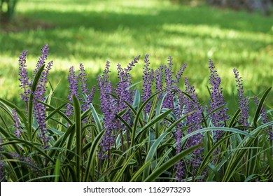 Liriope muscari or lily turf flower growing up in the garden on the background of green grass field , summer in Ga USA