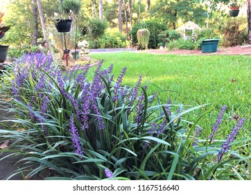 Liriope muscari or lily turf flower growing up in the garden on the background of green grass field garden , summer in Ga USA
