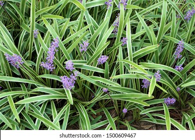 Liriope muscari or lily turf flower growing up in the garden, top view  background texture, summer in Ga USA