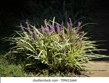 Liriope muscari or lily turf flower growing up in the garden , summer in Ga USA