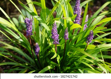Liriope muscari 'Moneymaker' is an erect evergreen perennial that produces blue-purple flowers in panicles from August to October. Berlin, Germany