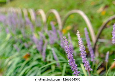 The Liriope muscari which blooms of the garden path