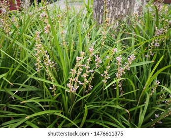 Liriope spicata plants with pink flower buds