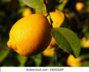 Lisbon Lemon Hanging From Citrus Tree