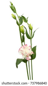 Lisianthus flower isolated on white background