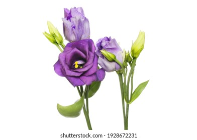 Lisianthus flowers and buds isolated against white