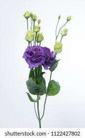 Lisianthus russellianum Alissa Blue