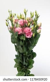Lisianthus russellianum Arena Pink