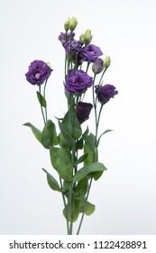 Lisianthus russellianum Arosa Violet