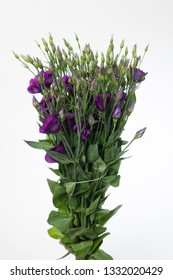 Lisianthus russellianum Colorado Purple
