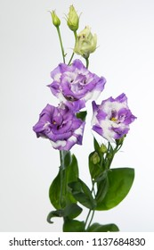 Lisianthus russellianum Corelli Delft Blue