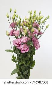 Lisianthus russellianum Corelli Rose