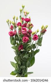 Lisianthus russellianum gevuldbloemig Arosa Red