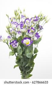 Lisianthus russellianum Piccolo Blue Rim