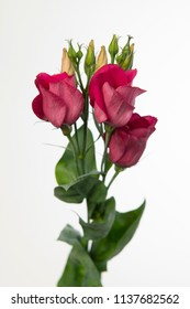Lisianthus russellianum Piccolo Red