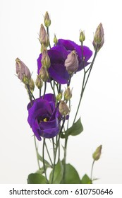 Lisianthus russellianum Piccolo Violet