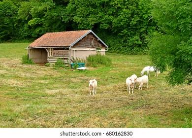 Lisors, France - june 29 2017 : cows in rural landscape