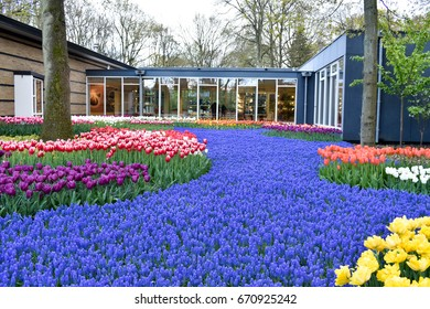 LISSE, NETHERLANDS - APR 28, 2017: Blue grape hyacinth and colorful tulips in spring at Keukenhof garden. Lisse, Netherlands