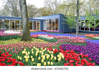 LISSE, NETHERLANDS - APR 28, 2017: Beautiful and colorful tulips and grape hyacinth in spring at Keukenhof garden. Lisse, Netherlands