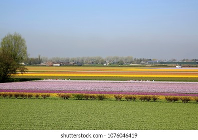 Lisse, The Netherlands - April 20, 2018: Colorful flowerfields in the Netherlands