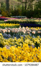 Lisse, Netherlands. April 2019. Daffodils, tulips and narcissi at Keukenhof Gardens, Lisse, South Holland. Keukenhof is known as the Garden of Europe.