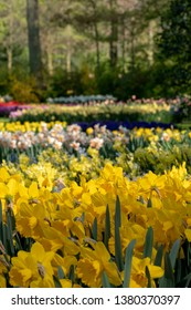 Lisse, Netherlands. April 2019. Daffodils and narcissi at Keukenhof Gardens, Lisse, South Holland. Keukenhof is known as the Garden of Europe.