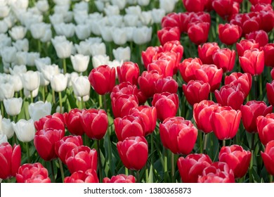 Lisse, Netherlands. April 2019. Tulips in vibrant colours on display at Keukenhof Gardens, Lisse, South Holland. Lisse is the centre of Holland's floriculture industry.