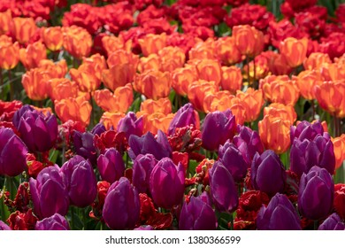 Lisse, Netherlands. April 2019. Tulips in vibrant colours bask in the late afternoon sun at Keukenhof Gardens, Lisse, South Holland. Lisse is the centre of Holland's floriculture industry.