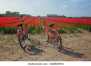 Lisse,Holland - 6 May 2017: Colored red tulips field Holland.