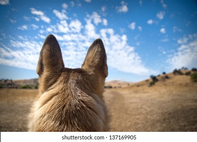 Listening ears on a German Shepherd