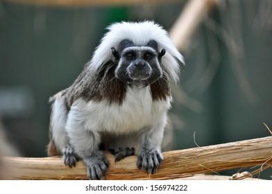 Liszt Monkey