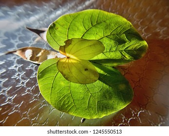 lit green double leaf in heart shape. The large leaf is green, the small inner  yellow. Close-up, illuminated from below. The  framework of the green leaf is clearly visible.