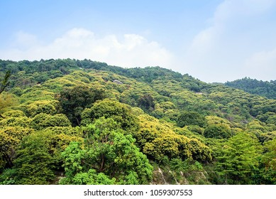 Litchi flowers blooming in spring hills / Litchi forest in Guangdong province