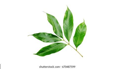 Litchi leaf on a white background.