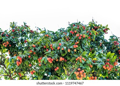 Litchi tree covered with red litchi/Guangdong Guizhi Litchi