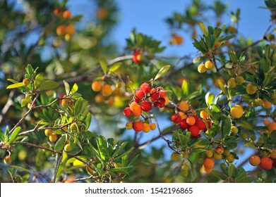 litchis on a tree in summer