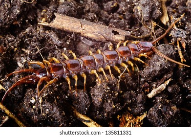 Lithobius forficatus, most commonly known as the brown centipede or stone centipede, is a common European centipede of the family Lithobiidae. Here seen in natural environment of soil and litter.