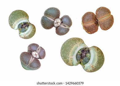 Lithops, of the Aizoaceae family, which are also called pebble plants because of their appearance. Set of plant isolated on white background.