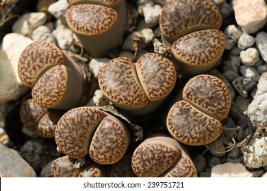 Lithops bromfieldi ver insularis, South Africa