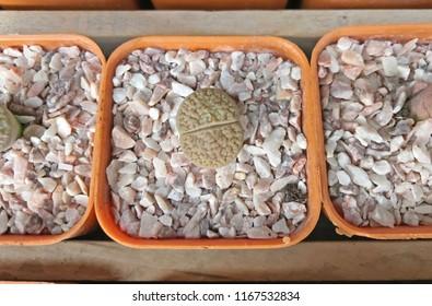 Lithops cactus close up