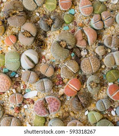 Lithops (Living stone), Cactus