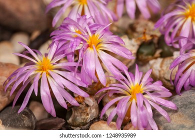 Lithops, living stones in bloom at a botanic garden
