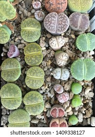 Lithops plant grow in a pot