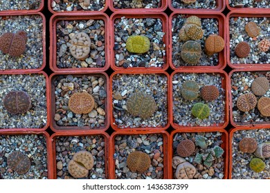 Lithops in pots, desert plant called living stone, top view. Lithops plants in flowers shop.