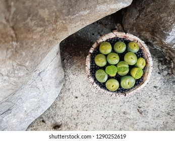 Lithops species in pottery