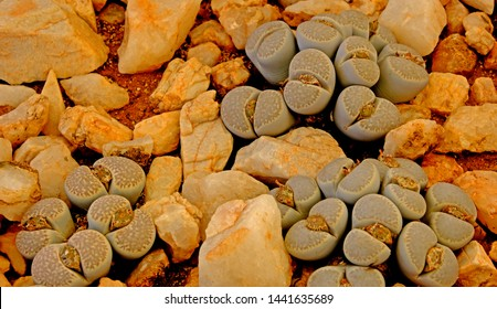Lithops, a succulent genus of  unusual rock-like plant, growing in a nursery pot. These succulents, also known as living stones or pebble plants are native to South Africa and Namibia.