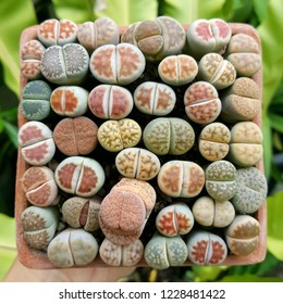 Lithops succulent plants. Colorful Lithops.